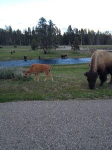 Bison Calve and Mom