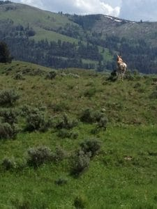 An Antelope on Another Mountain Pass Trail
