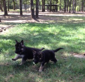 Heidelberg Puppies that are currently Available at Keystone German Shepherds & Kennels