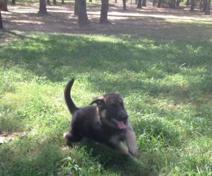 A Male Heidelberg Puppy that is currently Available at Keystone German Shepherds & Kennels