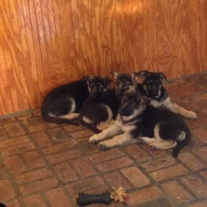 A Happy Heidelberg Puppy Litter Resting After Having Their Monthly Health Check