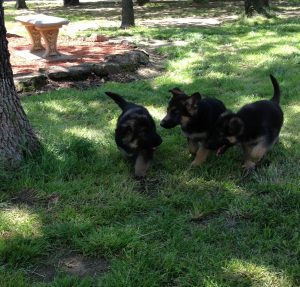 Jude Puppies Playing, From Right to Left Aspen, Allen, and Annie